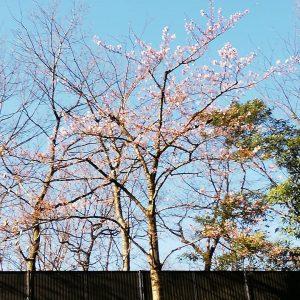 ベランダ前の桜がようやく咲いた